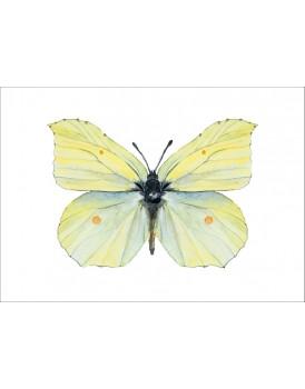Postkaart citroen vlinder